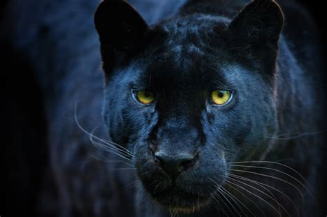manchester panther big cat   loose  radcliffe