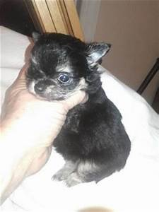 Micro teacup tiny tiny chihuahua puppys 2 lbs full grown ...