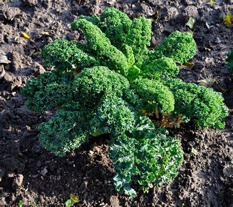 cuisiner chou frisé chou kale comment bien le cuisiner aux fourneaux