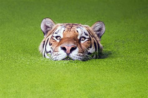 Green Animal Wallpaper - nature green animals tiger muzzles water depth of