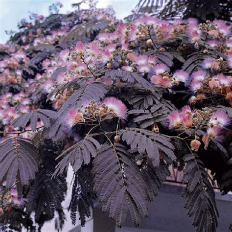 arbre 224 soie albizia julibrissin summer chocolate en pot