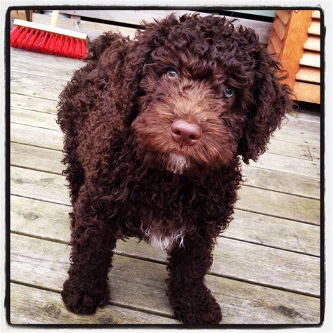 sweetheart hugo perro de agua espanol spansk vattenhund