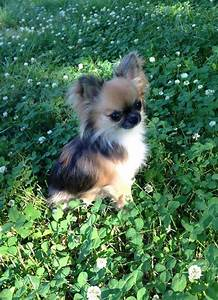 Chihuahua, long-haired. My goodness, it looks like a ...