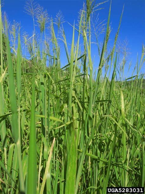 guineagrass megathyrsus maximus cyperales poaceae