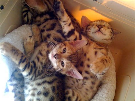 playful cat breeds  cats love  play