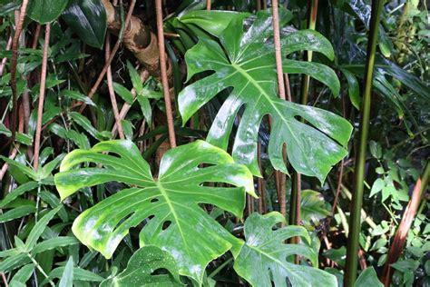 Gehoelze Schneiden Pflanzen Und Pflegen by Fensterblatt F 252 Nffingerblatt Monstera Deliciosa Pflege
