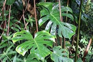 Pflanze Mit Fleischigen Blättern : fensterblatt f nffingerblatt monstera deliciosa pflege schneiden ~ Buech-reservation.com Haus und Dekorationen