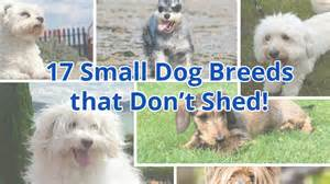 small dog breeds that dont shed and stay small
