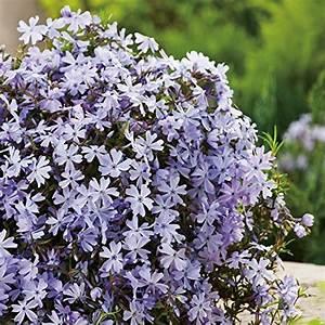 Bodendecker Blaue Blüten : bodendecker und andere pflanzen von garten schl ter online kaufen bei m bel garten ~ Frokenaadalensverden.com Haus und Dekorationen
