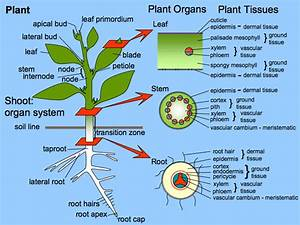 Plant Development I  Tissue Differentiation And Function