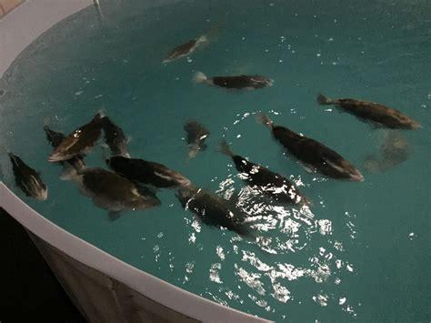 grouper nassau culture tropic seafood bahamas baby