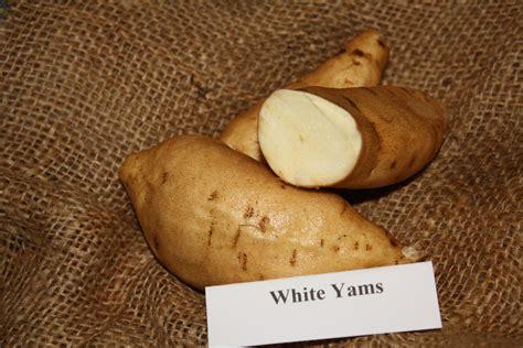 white sweet potato white yams steele plant company llc