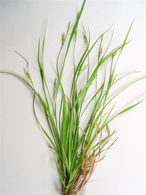 grass plant grass like plants simple key go botany