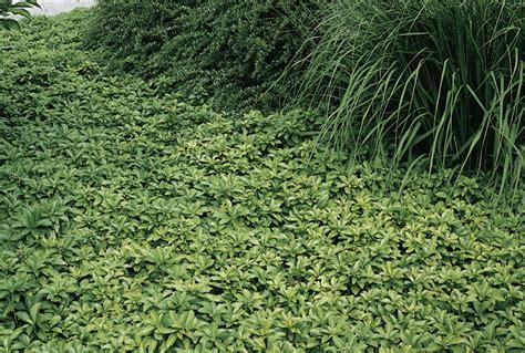 teppich thymian bodendecker winterhart schnell wachsende bodendecker