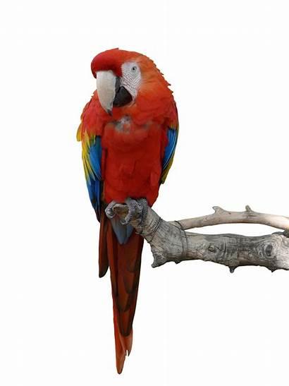 Parrot Parrots Deviantart Transparent Animal Iciness Macaw
