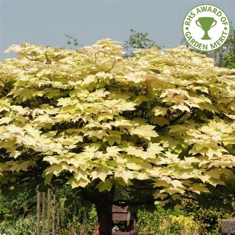 acer trees images acer pseudoplatanus brilliantissimum buy sycamore tree buy acer