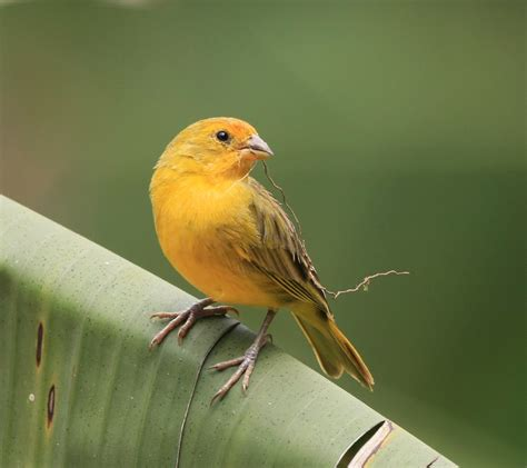 saffron finch facts pet care temperament feeding