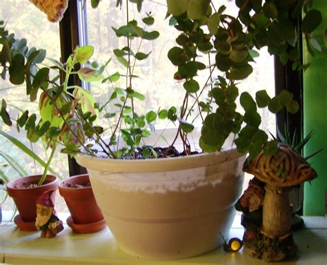 growing eucalyptus indoors top 28 growing eucalyptus indoors ユーカリ鉢植え ガーデニング 園芸 グリーン シルバーグリーン ハーブ ベランダ アロマ ジュジュ フラワーズ