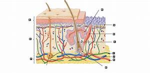 The gallery for --> Integumentary System Without Labels