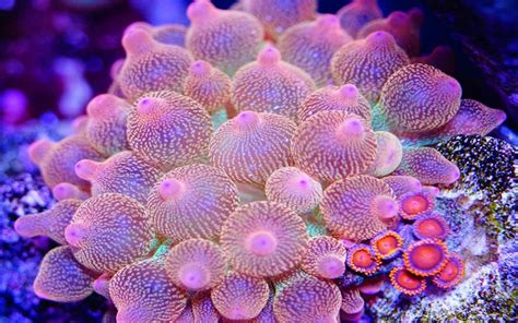 entacmaea quadricolor commonly called bubble tip anemone