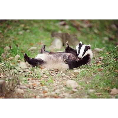 Badger - Diet Breeding Facts Habitat Pictures