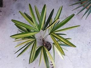Palmenarten Zimmerpflanzen Rhapis Excelsa Gehrt Zu Den