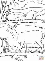 Deer Coloring Mule Mother Printable Tail Drawing Supercoloring Sheets Printables Popular Blacktail Wood Tailed Coloringhome sketch template