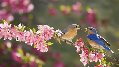 Bird Bluebird Wallpapers Spring Bing Flower Pink
