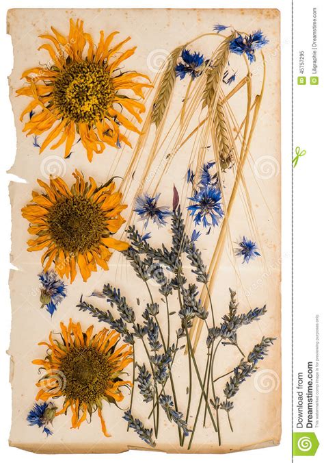 sunflowers message dried flowers on aged paper sheet herbarium of sunflowers