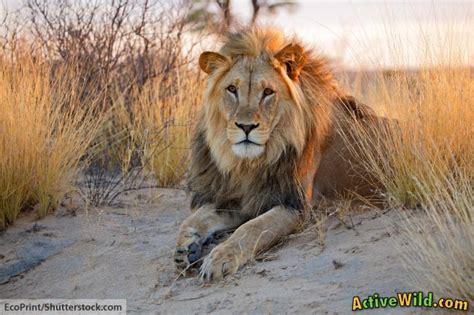 facts  lions  kids lion information images