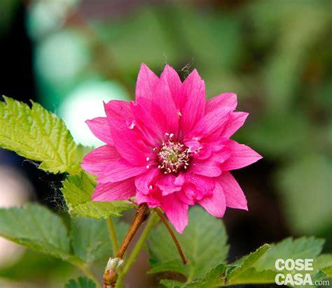 arbusti dai fiori rosei gli arbusti insoliti cose di casa