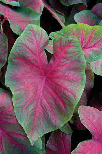 plant palette caladiums garden design