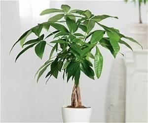 Grande Plante D Intérieur Facile D Entretien : arbre d 39 abondance bloom iq ~ Premium-room.com Idées de Décoration