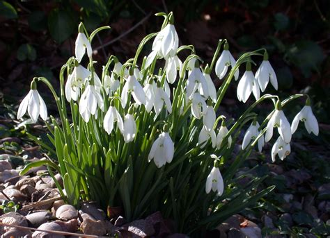 January 19 to 25 – Snow Drops – Barton Arboretum Blog