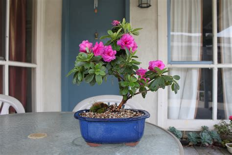 azaleas in pots care azalea bonsai kuromatsubonsai