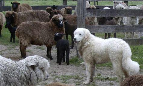 kuvasz hungarian kuvasz dog breed information  images