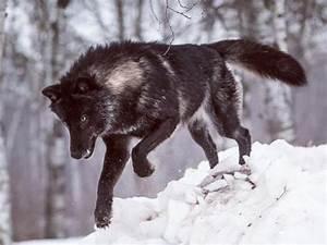 black timber wolf   Tumblr