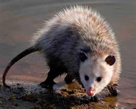 Possum Images Top 3 Possum Traps To Surely Catch A Possum