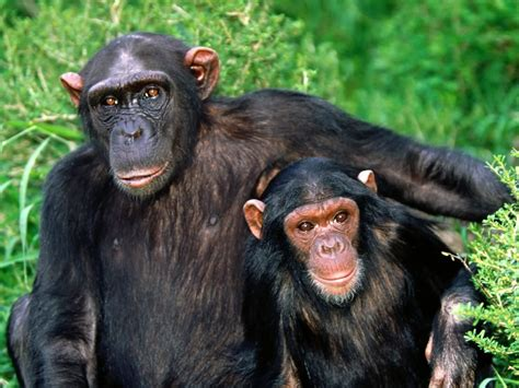 chimpanzee wildlife info   images  wildlife