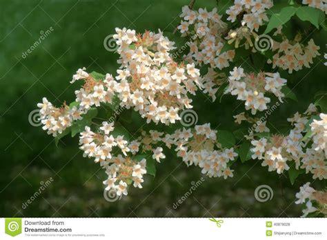 fiori di bush fiori di bush di bellezza fotografia stock immagine di