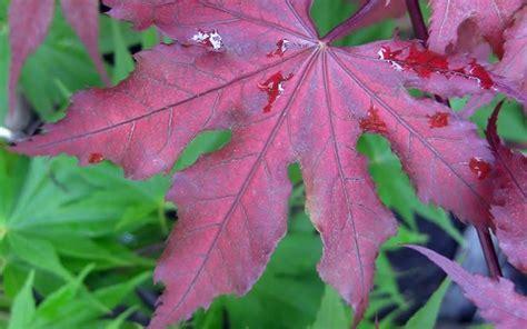 japanese maple purple ghost buy purple ghost japanese maple 3 gallon japanese maples buy plants online