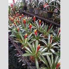 Tropicals Forum Tropical Plants In Manila Nurseries