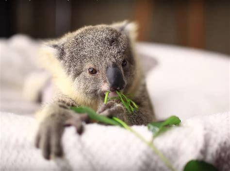Cuteness Break Just A Baby Koala's First Photo Shoot