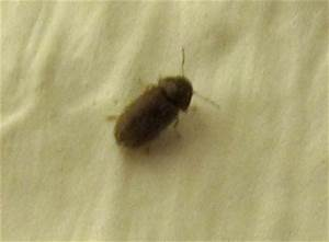 Ungeziefer Wohnung Kleine Braune Käfer : kleine braune k fer was tun ~ Lizthompson.info Haus und Dekorationen