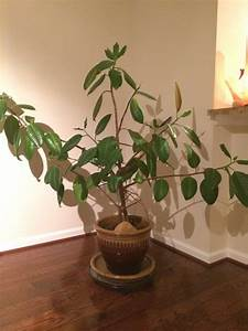 Indoor Winter; January Rubber Tree Care