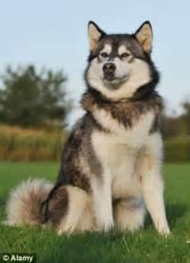tv blamed  wolves trend soaring numbers  dog