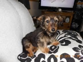 Long Haired Mini Dachshund Rescue