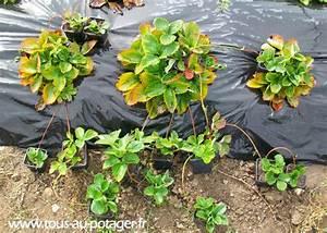Plant De Fraise : stolon or also called runner ohfarm research and development ~ Premium-room.com Idées de Décoration