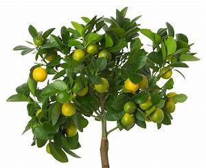 Zitronenbaum Gelbe Blätter : zitronenbaum als bonsai erziehung und pflege ~ Lizthompson.info Haus und Dekorationen