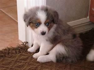 Australian Sheep Dog Blue Eyes